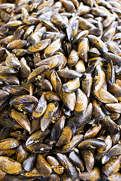 Seafood live mussels, moules, on sale at farmers market in Normandy