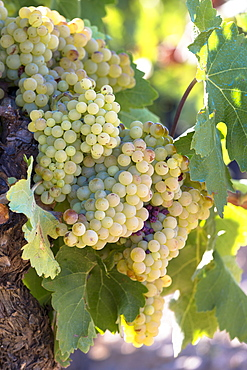 Viura green grapes for Rioja white wine in vineyard in Rioja-Alavesa area of Basque country, Euskadi, Spain, Europe