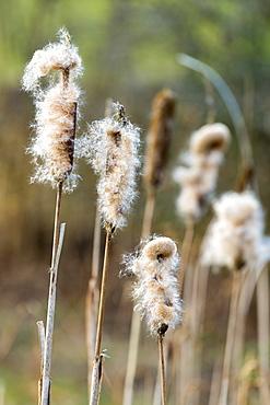Seed dispersal of bullrush a sedge grass (Cyperaceae) in wetland in Oxfordshire, England, United Kingdom, Europe
