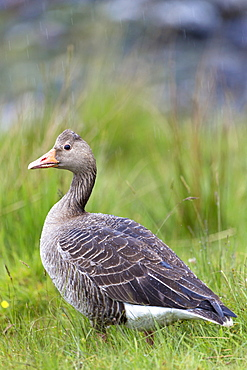 Greylag goose (Anser anser), Isle of Mull, Inner Hebrides and Western Isles, Scotland, United Kingdom, Europe