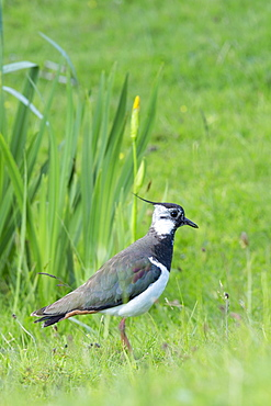 Northern lapwing (peewit) (pewiton) (Vanellus vanellus), Isle of Mull, Inner Hebrides and Western Isles, Scotland, United Kingdom, Europe