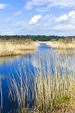Reeds in reedbed and marshes in The Somerset Levels Nature Reserve, Somerset, England, United Kingdom, Europe