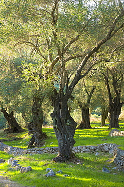 Sunlight through old olives trees (Olea europaea) in olive grove for traditional olive oil in sub-tropical climate of Corfu, Greek Islands, Greece, Europe