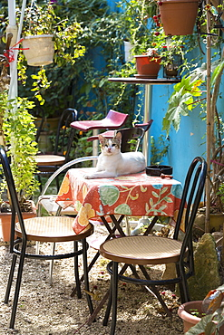 Brown and white cat on table in patio garden of house in village of Peroulades, Northern Corfu, Corfu, Greek Islands, Greece, Europe