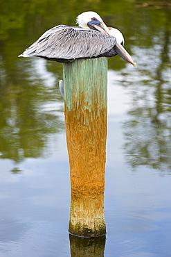 Brown Pelican, Pelecanus occidentalis, a large shorebird roosting on a pole at Captiva Island, Florida, USA