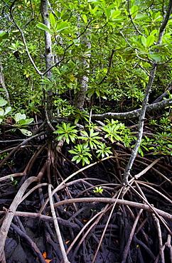Mangrove forest Zanzibar.  Species Rhizophora