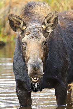 Moose (Alces alces) cow in pond breaks from filter feeding and stares at camera, Grand Teton National Park, Wyoming, United States of America, North America