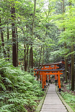 Fushimi Inari Taisha, Shinto shrine, vermilion torii gates line paths in wooded forest on Mount Inari, Kyoto, Japan, Asia