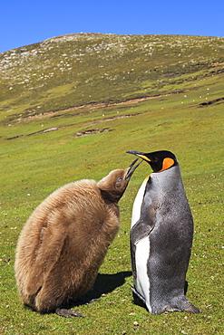 King penguin (Aptenodytes patagonicus) feeding chick inland, the Neck, Saunders Island, Falkland Islands, South America
