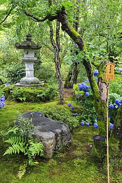 Tenryu-ji temple garden, large stone lantern amongst leafy trees with vivid blue hydrangeas in summer, Arashiyama, Kyoto, Japan, Asia