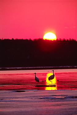 Hokkaido Japanese Crane