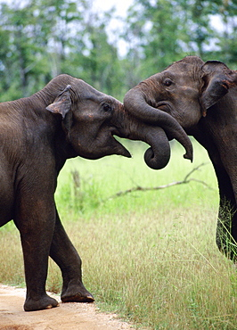 Two African Elephants playing