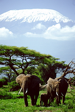 African Elephants and Kilimanjaro
