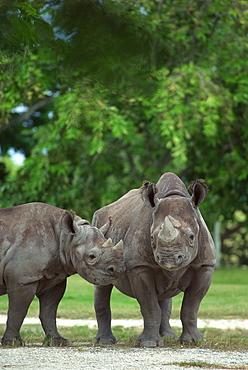 Rhinoceros by trees