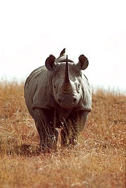 White Rhino walking in savanna