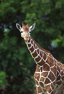 Reticulated Giraffe in savanna