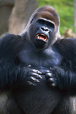Lowland Gorilla beating chest