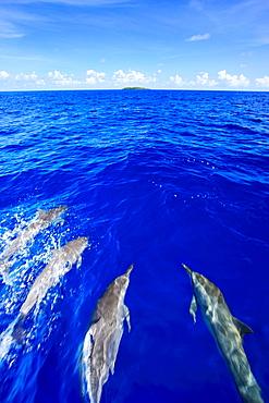 Dolphins, Palau