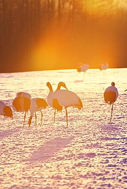 Japanese Cranes