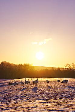 Red-Crowned Crane herd