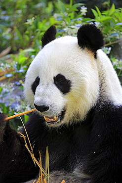 Giant Panda, (Ailuropoda melanoleuca), adult feeding portrait, Adelaide, South Australia, Australia