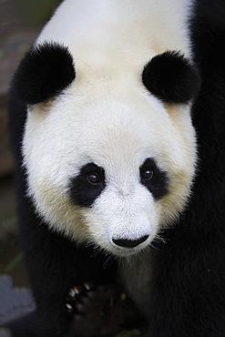 Giant Panda, (Ailuropoda melanoleuca), adult portrait, Adelaide, South Australia, Australia