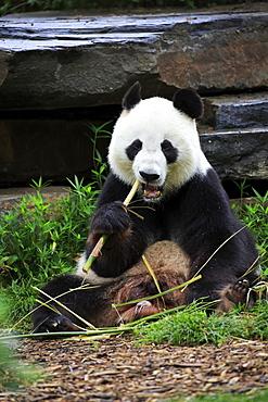 Giant Panda, (Ailuropoda melanoleuca), adult feeding, Adelaide, South Australia, Australia