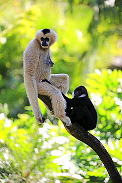 Northern White-Cheeked Gibbon, (Nomascus leucogenys), adult female with young on tree, Vietnam, Asia