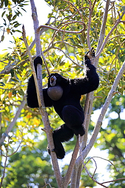 Siamang, (Symphalangus syndactylus), adult calling on tree, Southeast Asia, Asia