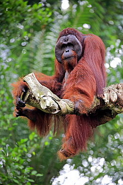 Orang Utan, Pongo pygmaeus, adult male on tree, captive, Singapore, Southeast Asia