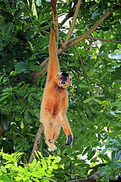 Yellow Cheeked Gibbon, golden-cheeked gibbon, yellow-cheeked crested gibbon, golden-cheeked crested gibbon, red-cheeked gibbon, (Nomascus gabriellae), adult female hanging in tree, brachiation, Asia
