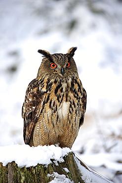 Eagle Owl, (Bubo bubo), adult on tree stub in winter, in snow, alert, Zdarske Vrchy, Bohemian-Moravian Highlands, Czech Republic