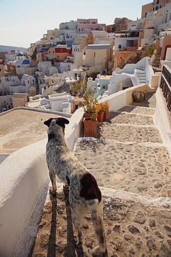 Dog, Santorini, Greece