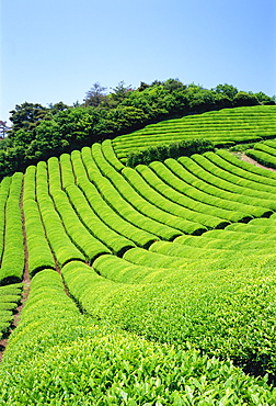 Tea Field, Kyoto, Japan
