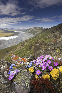 Hardy arctic wildflowers grow only a few inches high in order to reduce exposure to the moisture-robbing winds, Arctic National Wildlife Refuge, Alaska, USAArctic National Wildlife Refuge, Brooks Range, Alaska, USA