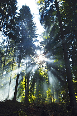 Sunbeams slanting through a forest (Oberfranken, Germany)