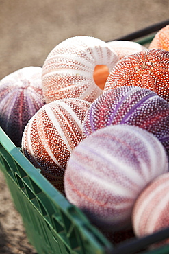 A crate of sea urchin shells