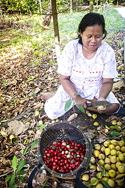 A woman separating nutmeg nuts and mace from nutmeg fruits, Banda, Maluku, Spice Islands, Indonesia, Southeast Asia, Asia