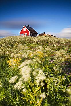 Fields of blooming flowers frame a typical wooden house of fishermen, Eggum, Unstad, Vestvagoy, Lofoten Islands, Norway, Scandinavia, Europe