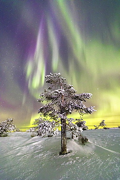 Northern Lights (Aurora Borealis) and starry sky on the frozen tree in the snowy woods, Levi, Sirkka, Kittila, Lapland region, Finland, Europe