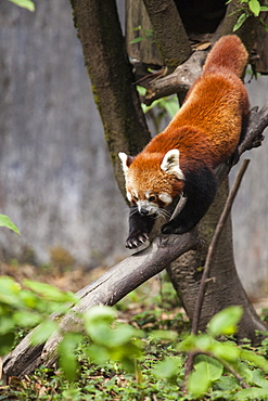 A red panda goes down from a tree in a wildlife reserve of India where these animals are protected from poachers, Darjeeling, India, Asia