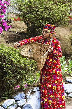 Inhabitant of Darjeeling dressed in typical clothes collects tea leaves from her land to make infusions, Darjeeling, India, Asia