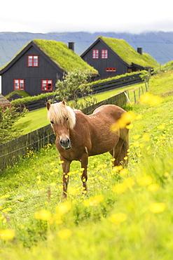 Horse in green meadows, Kirkjubour, Streymoy island, Faroe Islands, Denmark, Europe