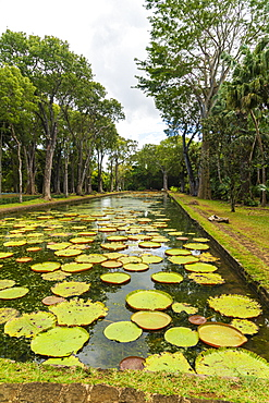 Giant Victoria Water Lily floating on water at Pamplemousses Botanical Garden, Mauritius, Africa