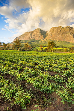 Tea estate on Mount Mulanje at sunset, Malawi, Africa
