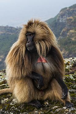 Male Gelada (Theropithecus gelada) in the Simien Mountains National Park, UNESCO World Heritage Site, Ethiopia, Africa