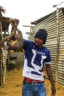 Pangolin (Pholidota) captured and for sale along a highway in Kwanza Norte, Angola, Africa