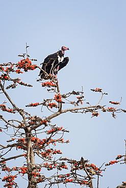 Red-headed vulture (Asian king vulture) (Indian black vulture) (Pondicherry vulture) (Sarcogyps calvus), Ranthambhore, Rajasthan, India, Asia