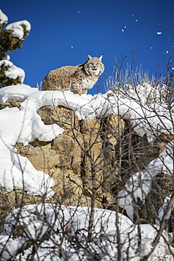 Bobcat (Lynx rufus), Montana, United States of America, North America