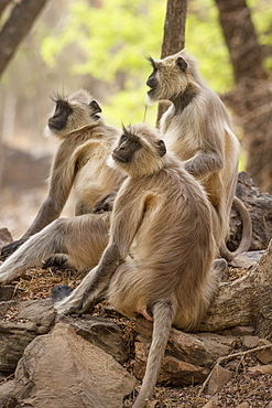 Langur monkey, Ranthambhore National Park, Rajasthan, India, Asia